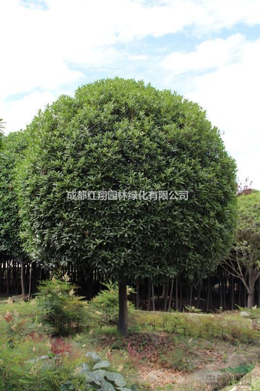 桂花树、成都桂花树、四川桂花树 、成都高杆桂花、独杆桂花