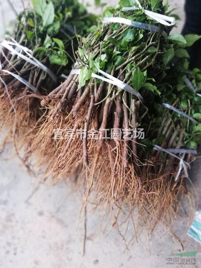 三角梅批发市场 金江园艺专业种植批发三角梅找马贵英