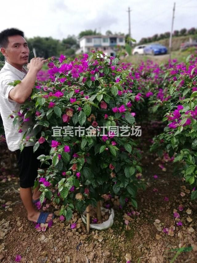 三角梅批发  红色 紫色藤条三角梅金江园艺