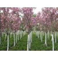 紫薇花,樱花树,大叶女贞,紫叶李